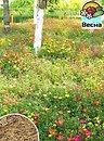 Фото Весна Мавританский 10 г